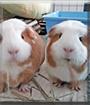 Orazio and Roni the Crested Guinea Pigs