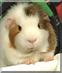 Patrick the Rex  Guinea Pig