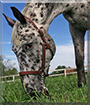 Wyatt the Appaloosa Horse