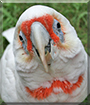 Cocky the Eastern Long-billed Corella