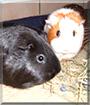 Paula and Paulina the Guinea Pigs