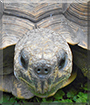 Manuelita the Gopher Tortoise