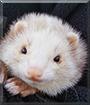 Nellie the Angora mix Ferret