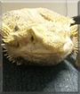 Toshiro the Bearded Dragon