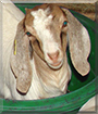 Zazou the Boer mix Goat