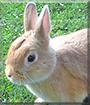 Strolchi the Dwarf mix Rabbit