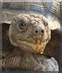 Leroy the African Spurred Tortoise