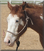 Rodeo the Paint Horse, Thoroughbred cross