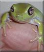 Glubschi the Australian Green Treefrog