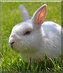Buddy the Rabbit