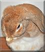 Raito the Miniature Lop Rabbit