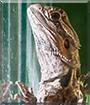 Edek the Agama Lizard