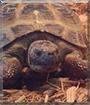Tank the Russian Tortoise