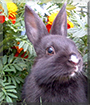 Shadow the Netherland Dwarf Rabbit