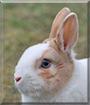 Flocke the Dwarf Rabbit