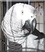 Mishka the Congo African Grey
