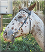 Jack Sparrow the Leopard Appaloosa Horse
