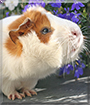 Frodo the Abyssinian Guinea Pig