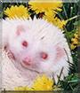 Krystl the African Pygmy Hedgehog