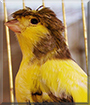 Grammy the Gloster Canary