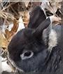 Thor the Rabbit,