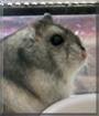 Sissi the Djungarian Dwarf Hamster