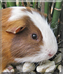 Subway the Guinea Pig