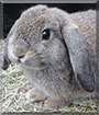 Antonio the Holland Lop Rabbit
