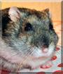 Krümel the Hungarian Dwarf Hamster