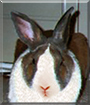 Austin Powers the Dutch Rabbit