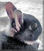 Sweety the Dwarf Rabbit