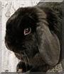 Licorice the German Lop Rabbit