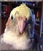 Luca the Cockatiel