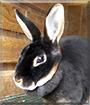 Coconut the Chocolate Mini Rex Rabbit