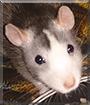 Fedya the Fancy Rat