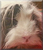 Wolly the Guinea Pig