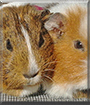Lilly and Flöckchen  the Guinea Pigs