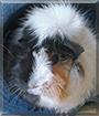 Vanilla the Guinea Pig