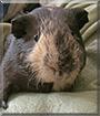 Henry the Guinea Pig