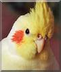Joko the Cockatiel