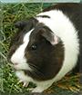 Star-Princess the Guinea Pig