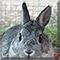 Prince the Netherland Dwarf Rabbit