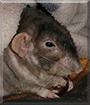 Uncle Suresh the Fancy Rat
