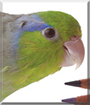 Max the Pacific Parrotlet