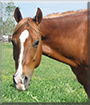 Quincy the Breeding Stock Paint Horse
