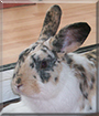 Dewey the English Spot/Dutch Rabbit