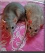 Fedya & Plumpy the Fancy Rats