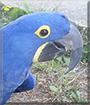 Dakota Rae the Blue Hyacinth Macaw