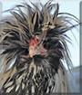 Elvis the Polish Chicken