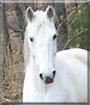 Scar the Quarter Horse/Arabian cross